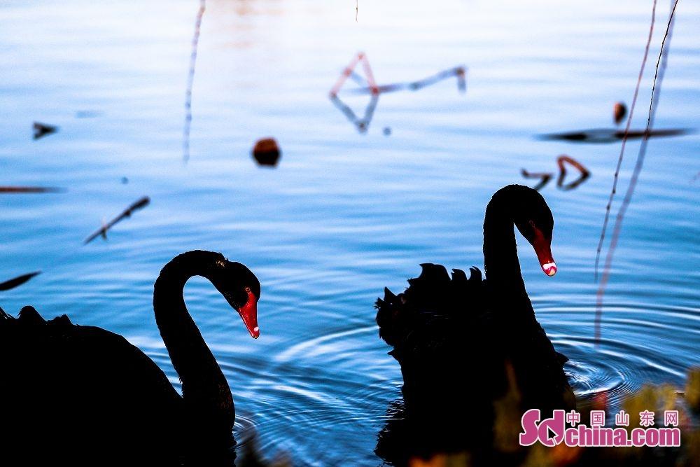1月1日,成群的天鹅、野鸭游弋在枣庄市台儿庄区双龙湖湿地公园。成群的大天鹅在此嬉戏觅食,悠然越冬,成为冬日湿地里一道靓丽的风景线&hellip;&hellip;双龙湖湿地公园处在京杭大运河,为东西走向的船形岛屿,占地1000余亩,周边邻水,犹如镶嵌在古运河上的一颗璀璨明珠。优越的环境吸引了众多大天鹅栖息越冬。<br/>