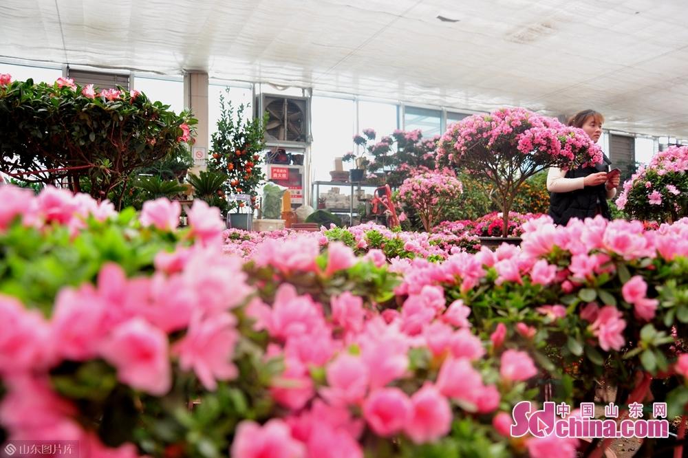 <br/>  花卉市场内,杜鹃因其花色、花型、喜庆的象征十分讨人喜欢。