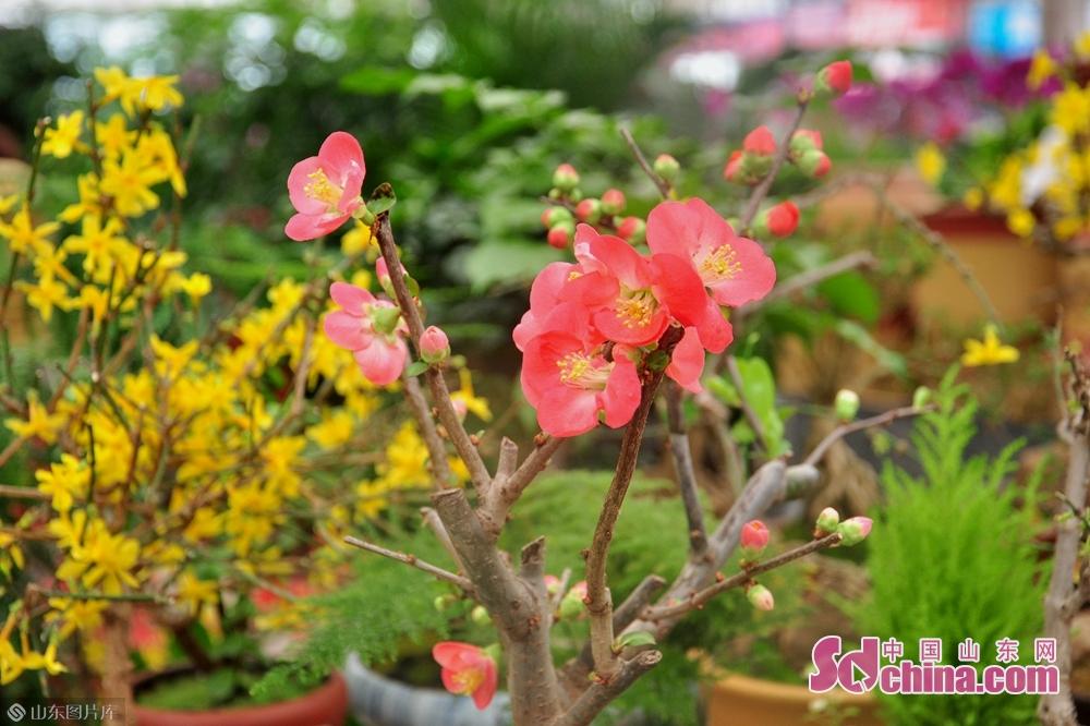 <br/>  盛开的粉红色腊梅、黄灿灿的迎春,让人眼前一片春意盎然。<br/>