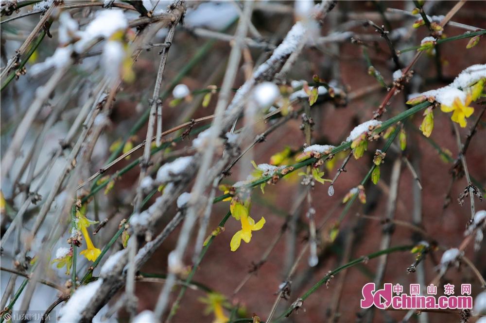 <br/>  1月7日拍摄的在冰雪中绽放的迎春花。2020年首雪如期而至,位于山东省济南市的千佛山在白雪覆盖下显得尤为壮美。(摄影 张仁玉)