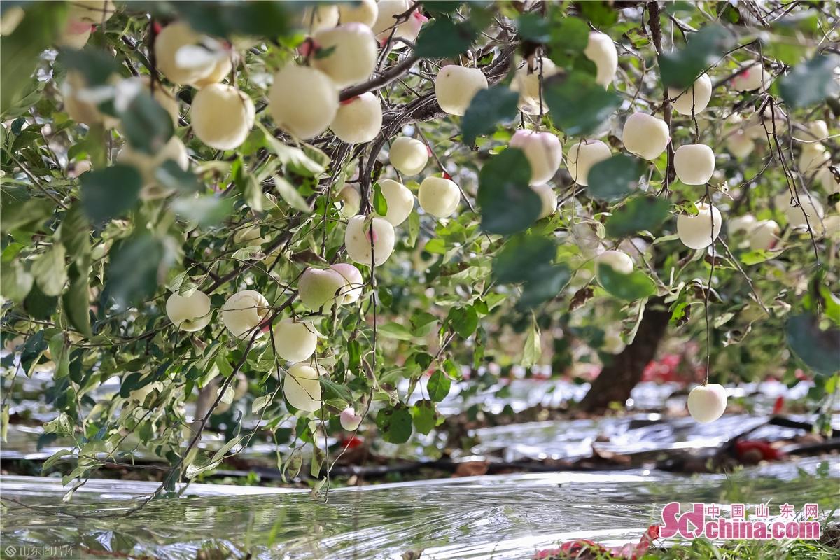 <br/>  在烟台海阳一苹果园里,红彤彤的苹果挂满了枝头,一派丰收的景象。(摄影 张仁玉)<br/>  &ldquo;中国苹果看山东,山东苹果看烟台。&rdquo;海阳作为烟台地区重要的苹果产区之一,上世纪80年代末起,海阳发城镇王家山后村&ldquo;皇家&rdquo;红富士品牌直接带动了海阳果业发展,数十年时间,海阳苹果产业飞速发展,以红富士苹果为主的种植业已经成为海阳农业产业中规模最大、品牌价值最高的支柱产业。<br/>