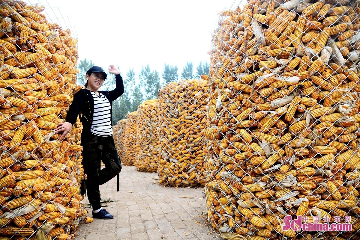 <br/>  聊城市茌平区今年78万亩玉米喜获丰收,在这丰收的季节里,乡村在金黄色的玉米点缀下显得异常美丽,引来摄影师拍照,记录下这靓丽的乡土画卷。图为聊城市茌平区菜屯镇、温陈街道玉米收购现场。