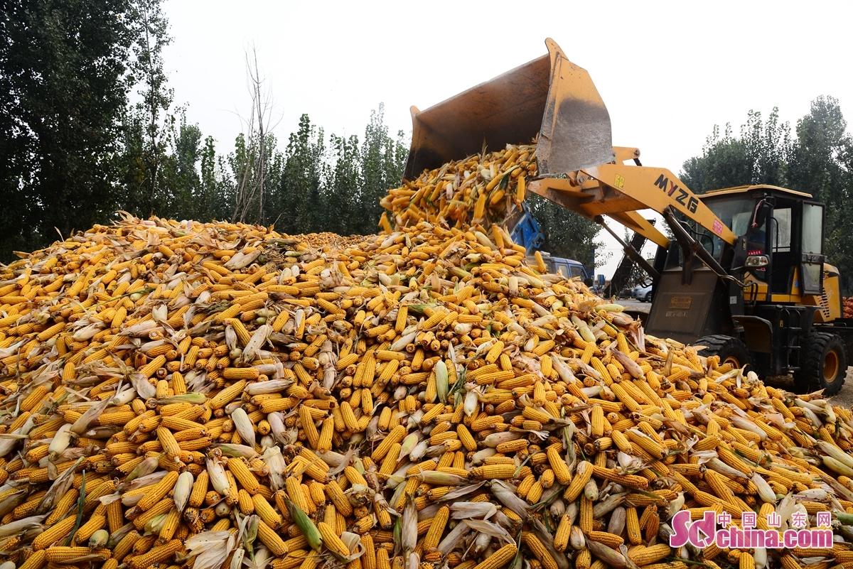<br/>  聊城市茌平区今年78万亩玉米喜获丰收,在这丰收的季节里,乡村在金黄色的玉米点缀下显得异常美丽,引来摄影师拍照,记录下这靓丽的乡土画卷。图为聊城市茌平区菜屯镇、温陈街道玉米收购现场。<br/>