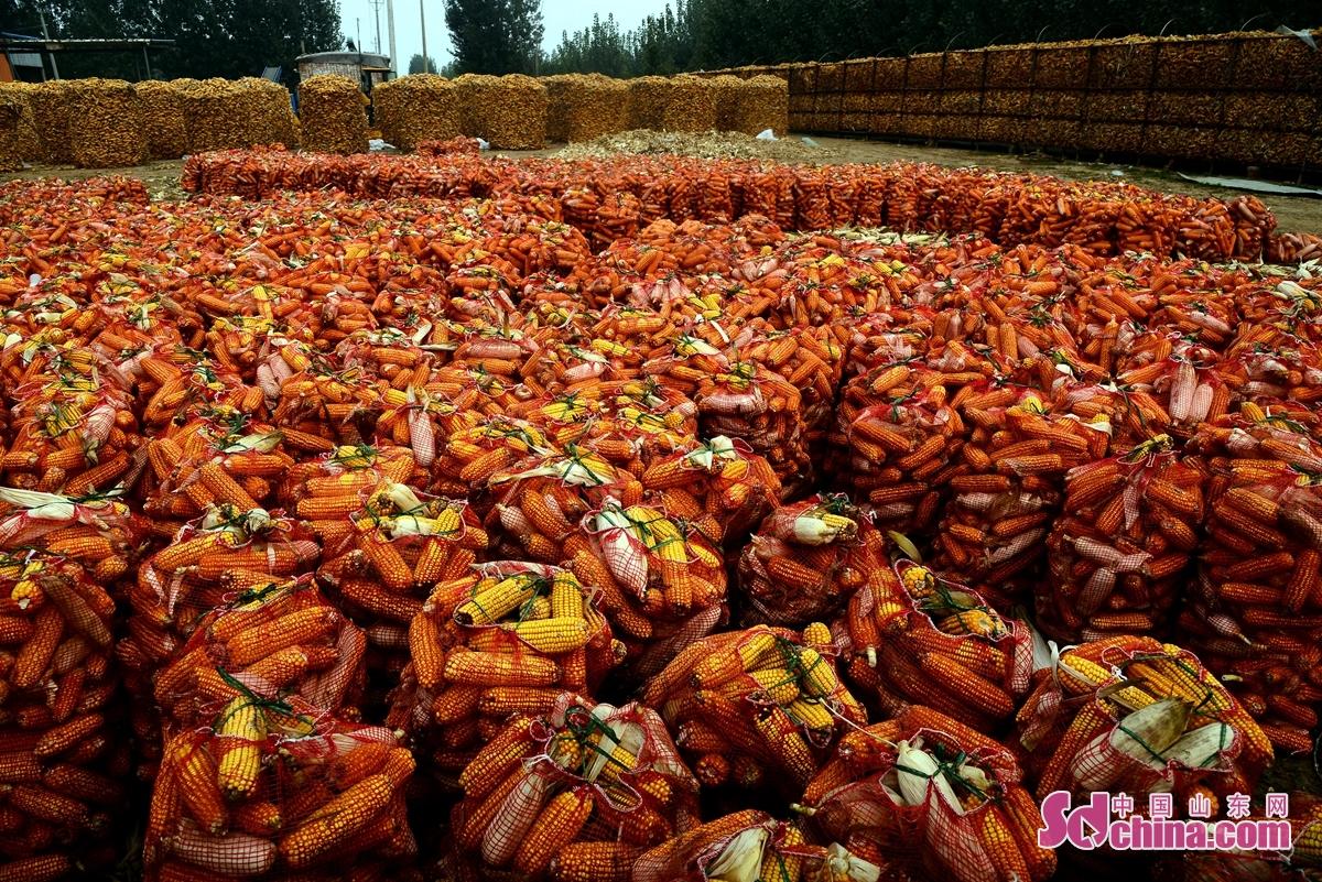 <br/> <br/>  요성시 치평구에 올해 78만 묘 옥수수가 대풍작이다. 이 계절에 황금색한 옥수수가 마을을 그림 같이 예쁘게 만들었다.<br/>