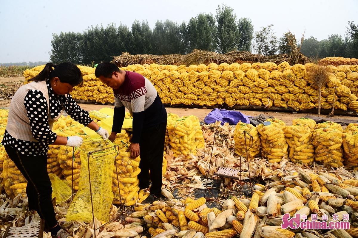 <br/>  요성시 치평구에 올해 78만 묘 옥수수가 대풍작이다. 이 계절에 황금색한 옥수수가 마을을 그림 같이 예쁘게 만들었다.<br/>