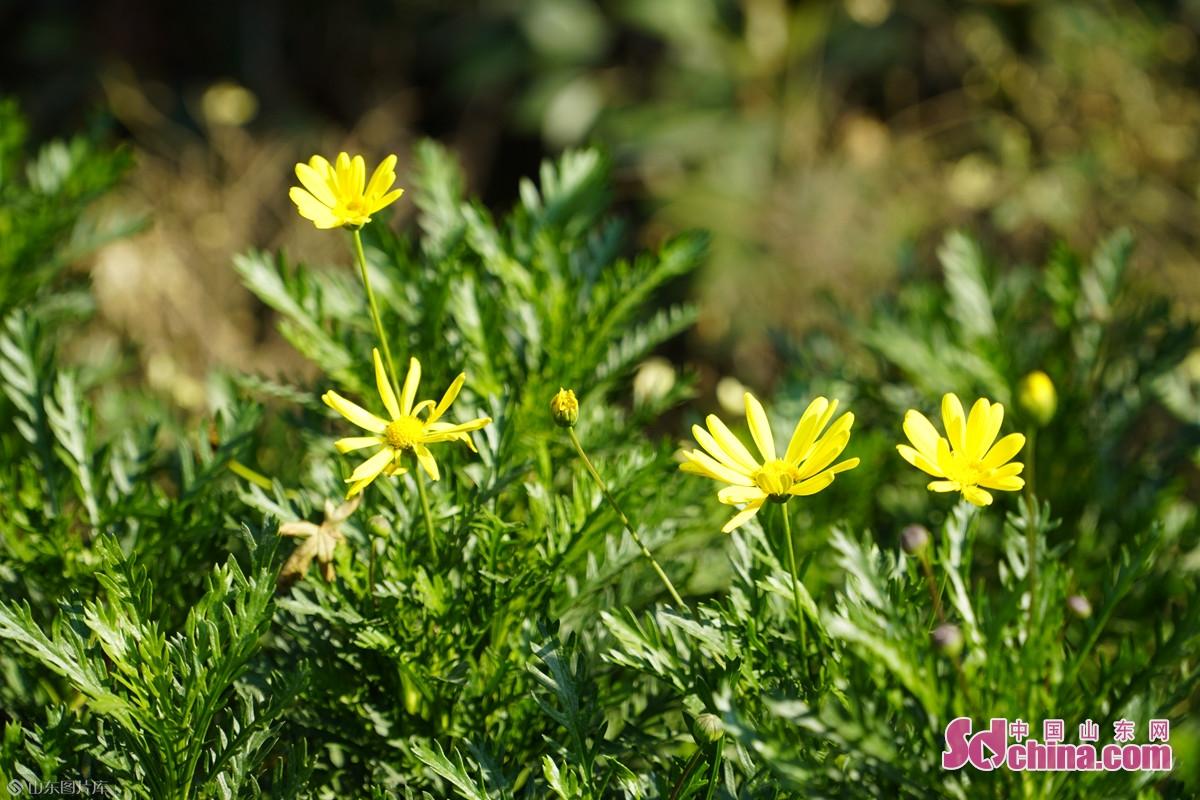 <br/>  赵王河畔,&ldquo;故事里的小黄花&rdquo;在秋日暖阳下熠熠生辉。
