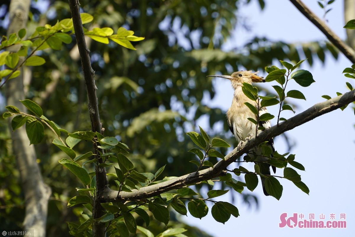 <br/>  啄木鸟停止了敲击,跳到树杈间小憩。