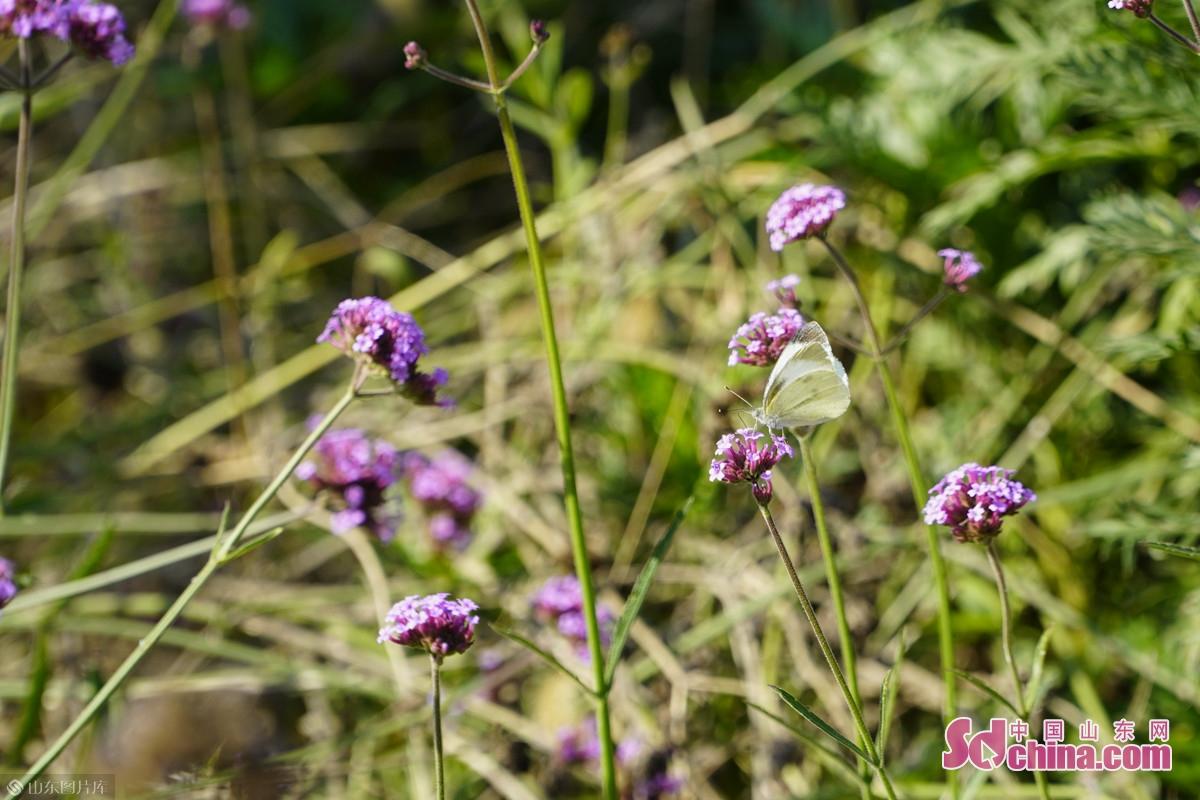 <br/>  蝴蝶也为这紫色的&ldquo;身姿&rdquo;倾倒,驻足欣赏秋日美丽。