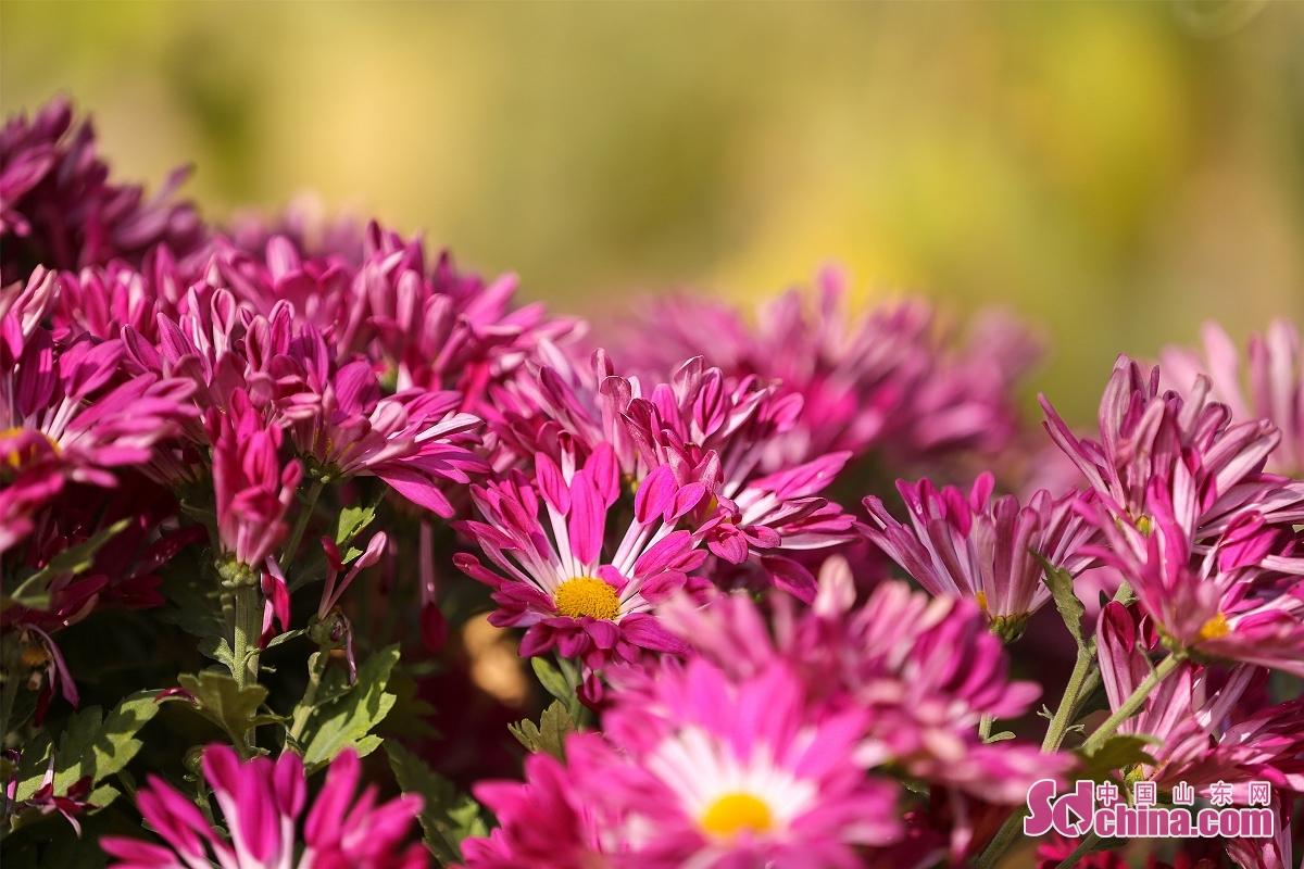 金秋的东营花仙谷节绚丽多姿,40多个精心培育的菊花竞相开放,色彩丰富、艳丽多彩。成片的花海,置身其中感受花儿的芳香,身心好像回归田野般宁静。(图文 马仁亮)<br/>