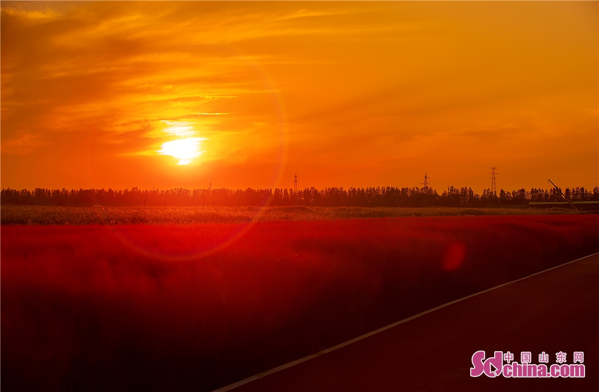 <br/>  夕阳西下,粉黛花在落日的映衬下如画般美好。<br/>  11月的北方已经进入初冬,位于山东东营各大公园的粉黛花却依然开得旺盛,置身花海的游客,仿佛走入一片仙境。<br/>