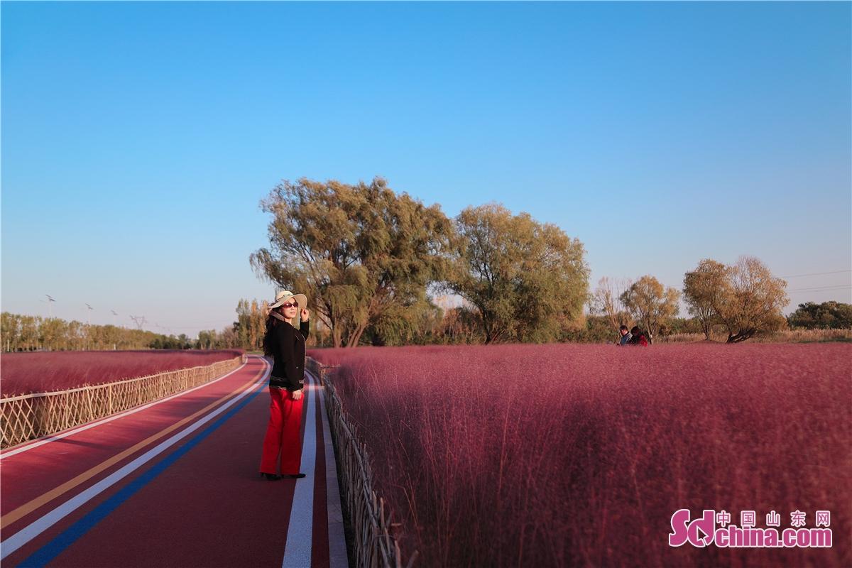 11월 중국 북쪽 지역에 초겨울 시절 들어간다. 산동성 동영시 공원에서 핑크뮬리가 여전히 활짝 피워 있고, 찾아온 관광객이 선경에 들어가는 것 같게 한다.
