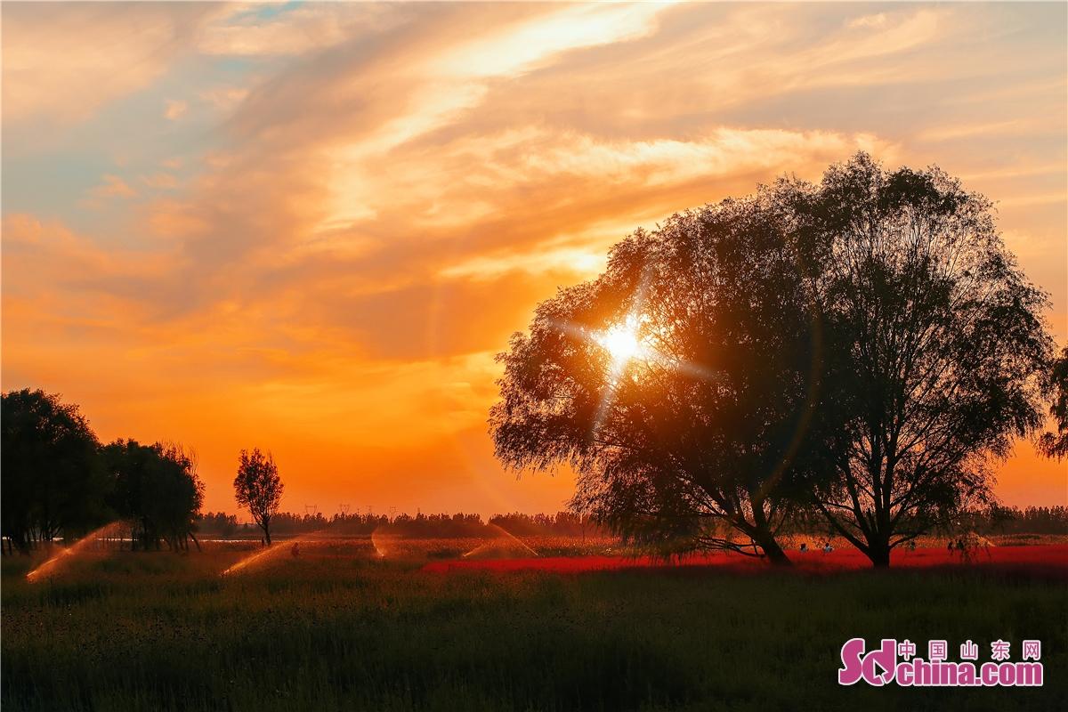 11월 중국 북쪽 지역에 초겨울 시절 들어간다. 산동성 동영시 공원에서 핑크뮬리가 여전히 활짝 피워 있고, 찾아온 관광객이 선경에 들어가는 것 같게 한다.<br/>