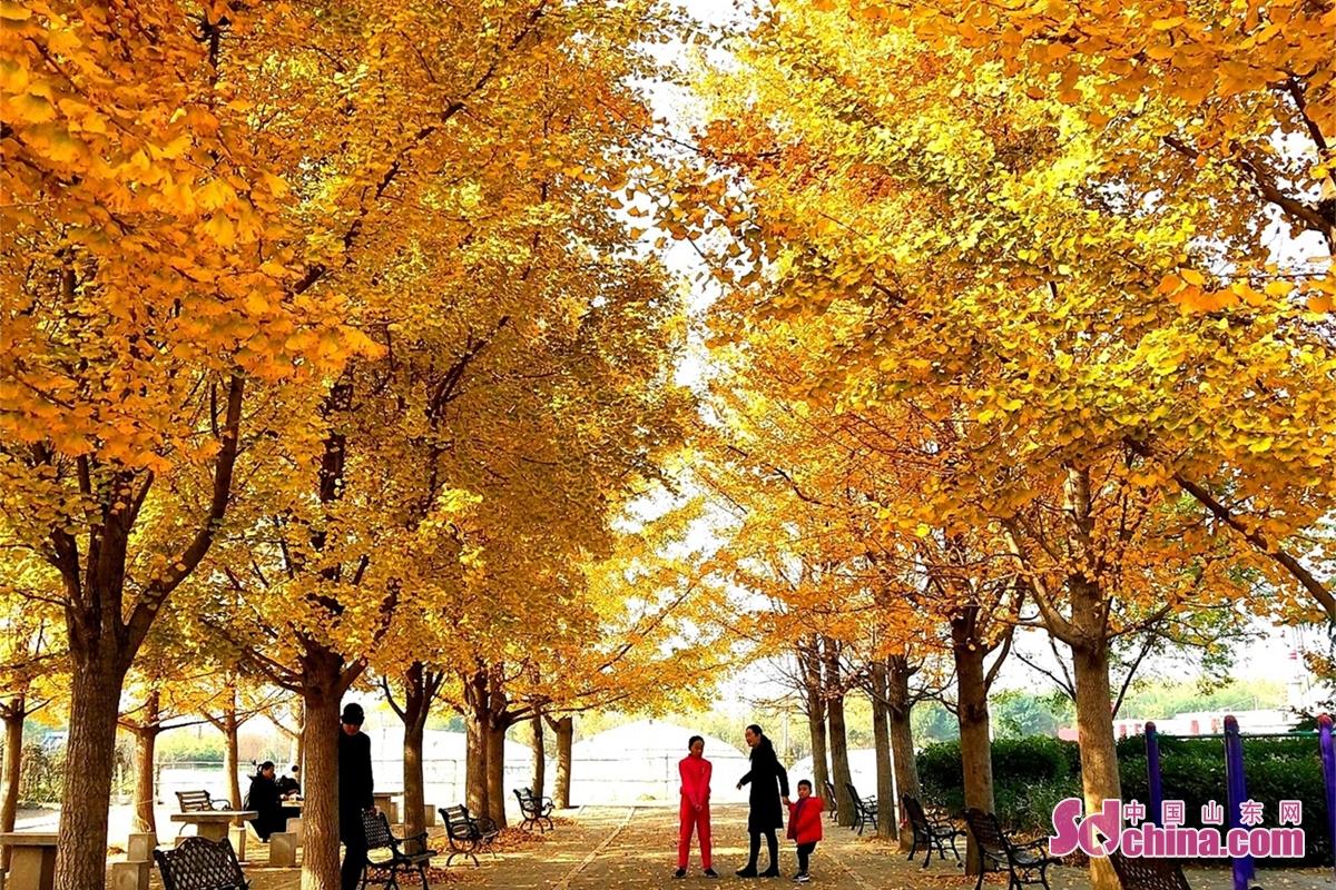 <br/><br/>  このほど、臨沂郯城のイチョウが金色になり、光の下で風景のように見えてる。数多くの市民は記念写真を撮ってくる。<br/>