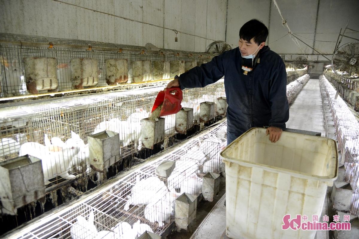 山東省聊城市小高村は省級貧困村で、特色あるウサギ養殖業の発展を推進しているので、120人の就職難を解決し、貧困世帯の増収を後押ししている。<br/>