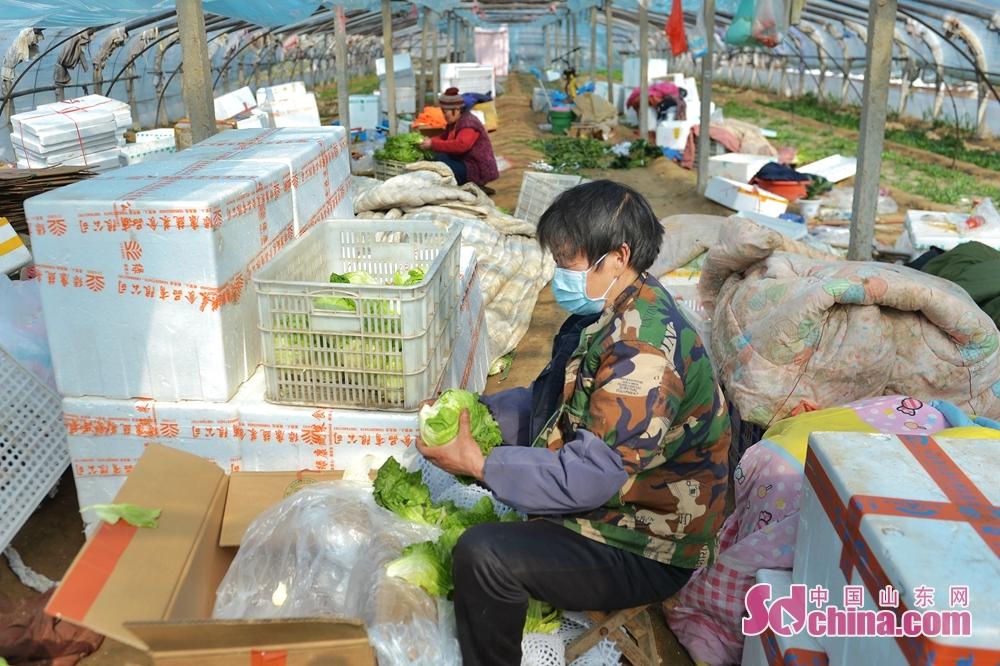 <br/>  青岛市城阳苇山社区的村民在蔬菜大棚内整理蔬菜,准备装箱发往市场。<br/>