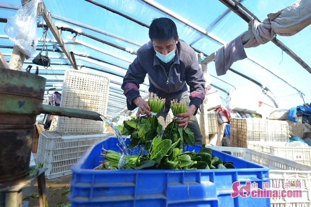 <br/>  青岛市城阳苇山社区的村民在蔬菜大棚内清洗菠菜,准备发往市场。<br/>