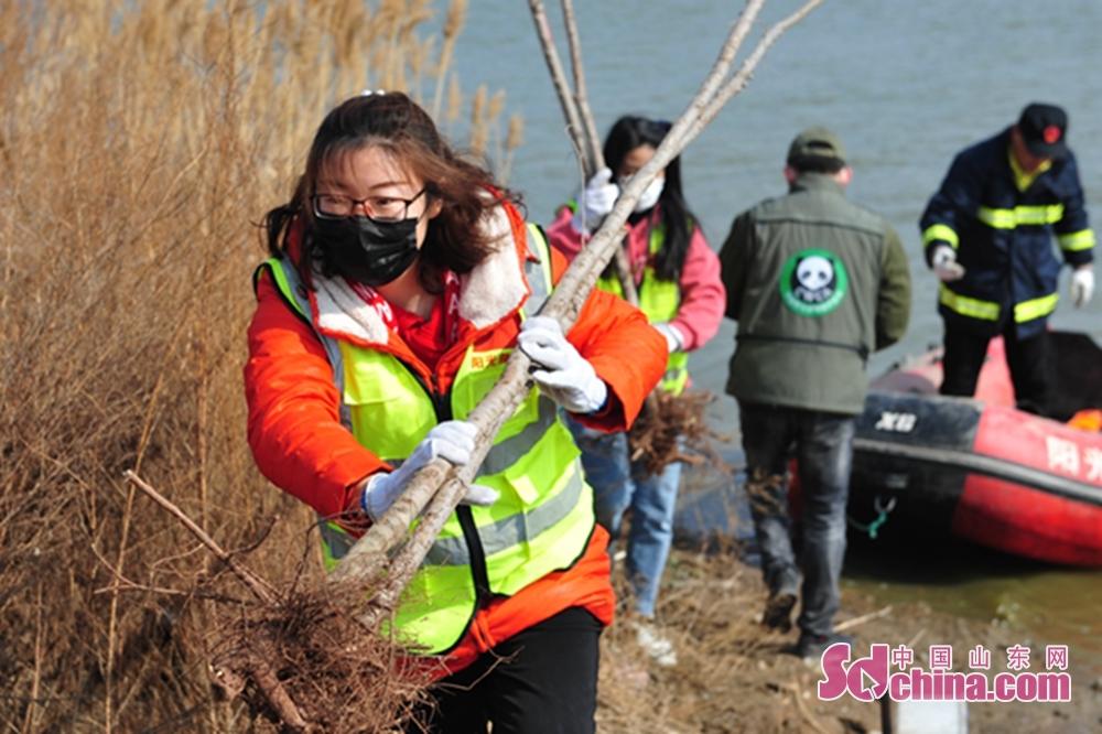 <br/>  3月10日,志愿者在青岛市城阳区入海口湿地往生态岛上运送树木。<br/>