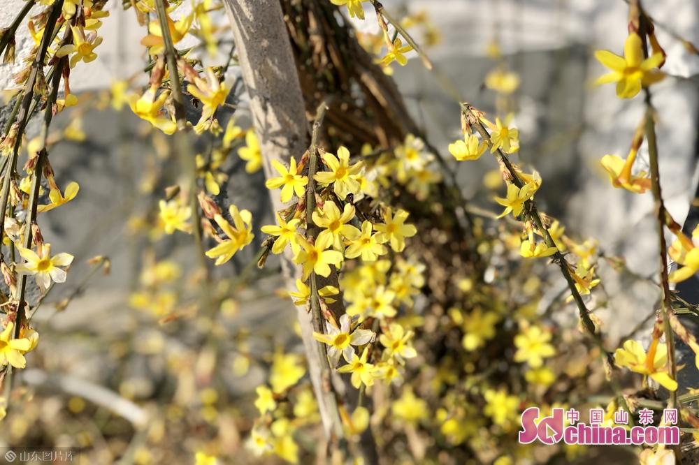 <br/>  随着近期气温稳步上升,潍坊已逐渐进入花季,路边的&ldquo;报春使者&rdquo;迎春花纷纷开放成为一道亮丽的风景。<br/>