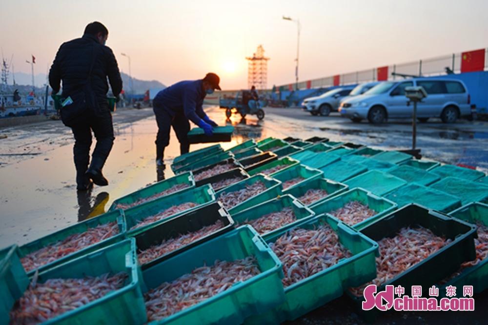 3月17日、漁民は青島市崂山区の漁港で生エビを水揚げした。<br/>