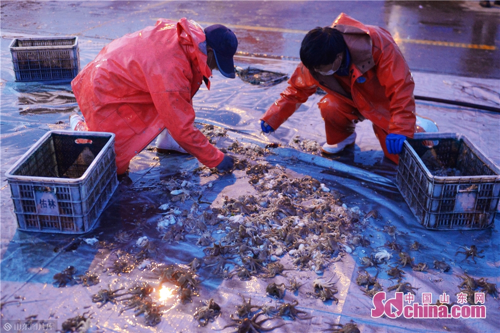 Photo taken on March 17, 2020 shows the octopuses that fishermen brought back from their first trip to sea after the work resumption in Qingdao, East China&rsquo;s Shandong Province. (Photo by Wang Haibin/Sdchina.com)<br/>