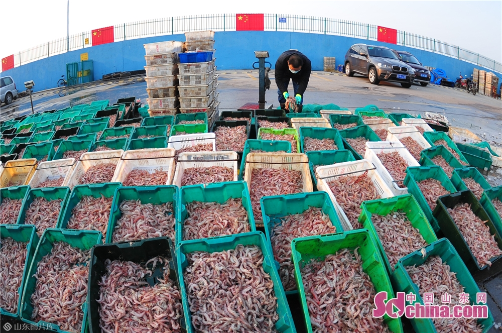 Photo taken on March 17, 2020 shows the live shrimp that fishermen brought back from their first trip to sea after the work resumption in Qingdao, East China&rsquo;s Shandong Province.<br/>