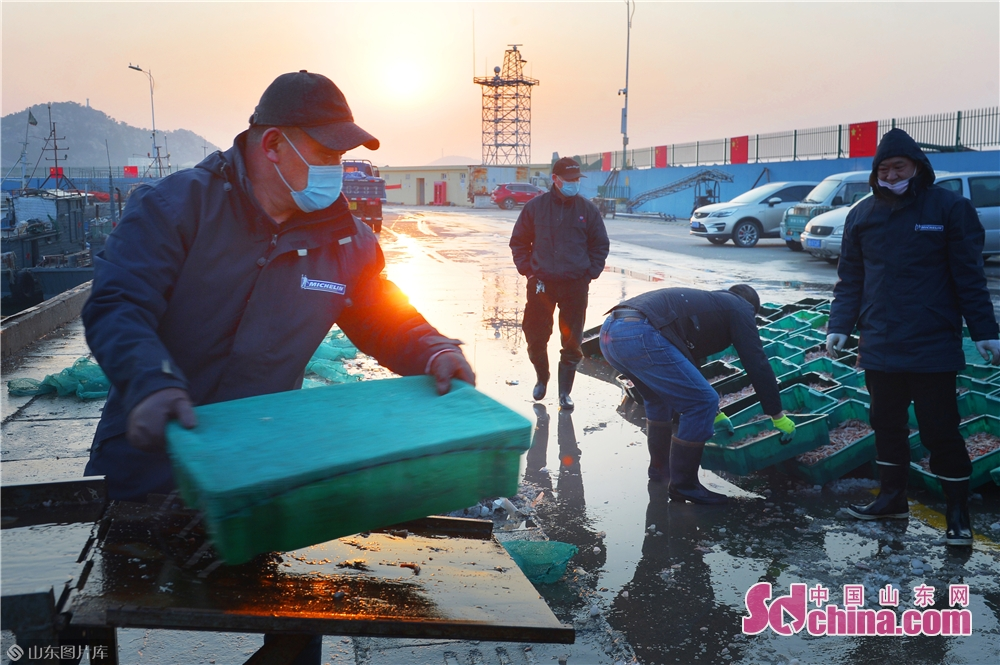 Photo taken on March 17, 2020 shows the live shrimp that fishermen brought back from their first trip to sea after the work resumption in Qingdao, East China&rsquo;s Shandong Province. (Photo by Wang Haibin/Sdchina.com)<br/>