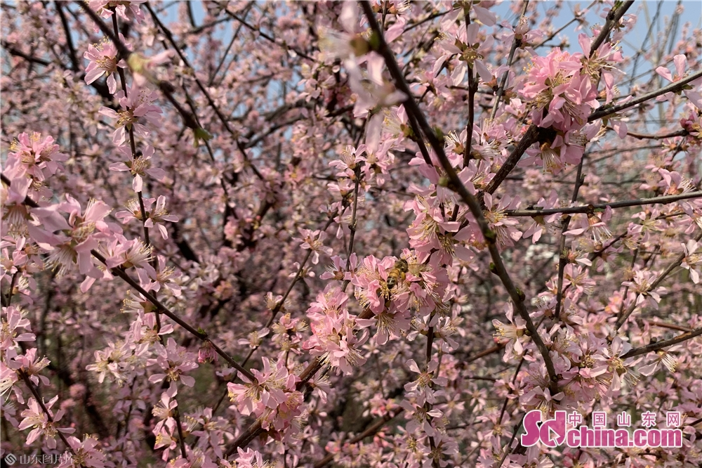 <br/>  此时已成为花海的manbetx手机登录注册植物园也成了市民赏花踏青的首选。<br/>