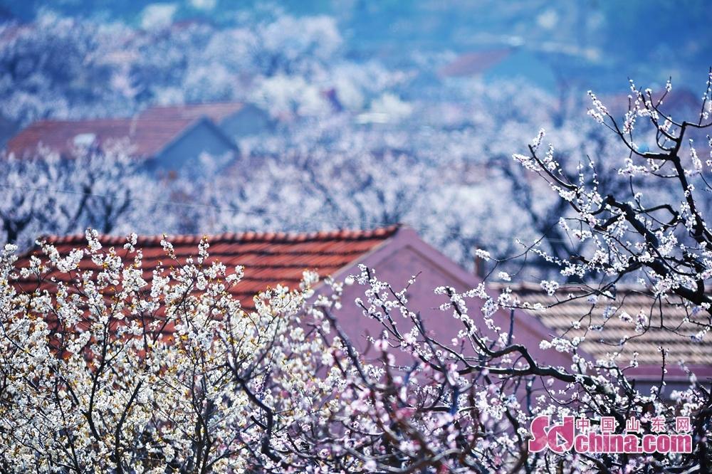 <br/>  3月23日,在青岛市城阳少山社区,掩映在杏花下的村庄。
