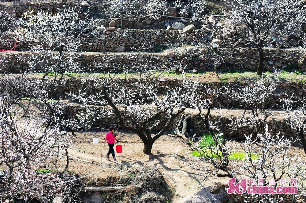 <br/>  3月23日,山东省青岛市城阳少山社区的1万多亩杏园正值盛花期,村民对果木进行浇水、疏花、采蜜等劳作,十里乡村美如画卷。<br/>