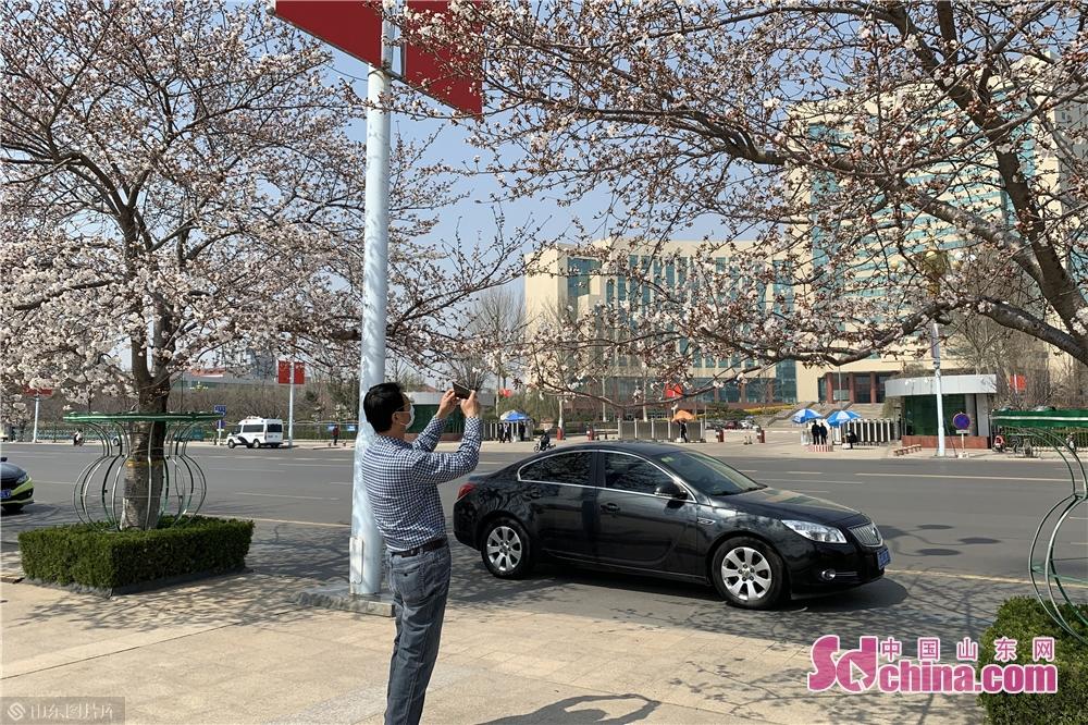 <br/>  manbetx手机登录注册人民广场的樱花相继盛开,记者在人民广场看到,不少市民和摄影爱好者前来赏花、拍照、留念合影。<br/>