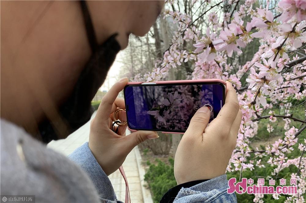 <br/>  樱花、迎春花在春风里各展风姿。<br/>