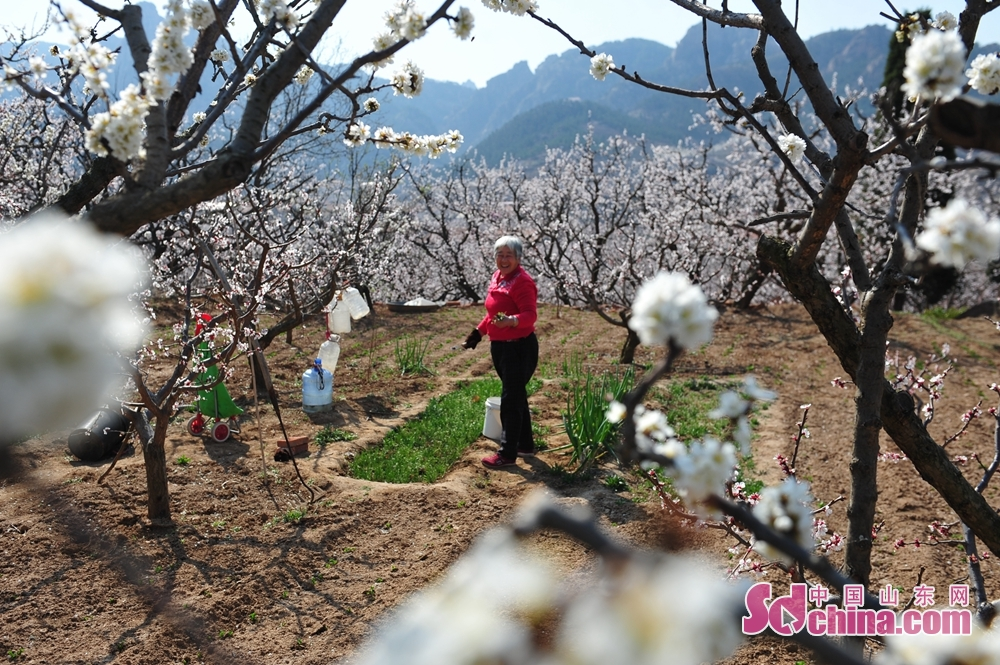 <br/>  3月23日,青岛市城阳少山社区的村民在杏园中劳作。<br/>