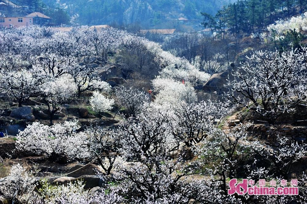 <br/>  3月23日,在青岛市城阳少山社区,花香溢满美丽乡村。<br/>