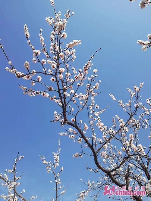 <br/>  春回大地,万物复苏。随着新冠肺炎疫情形势的逐渐明朗,春天已悄然来到了我们身边。各公园广场已全面做好卫生消毒和苗木管护工作,小草已经吐新绿、花儿已经含苞待放、柳树已经冒嫩芽,公园景观多姿多彩、气象万千,春天是真的来了!<br/>