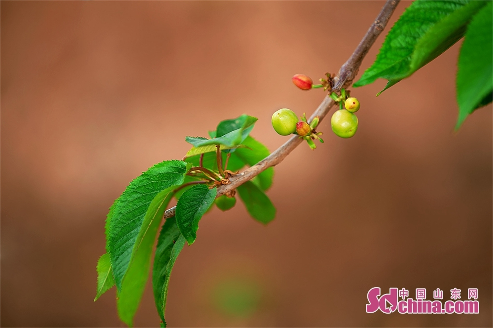 Photo taken on March 25, 2020 shows the cherries in Dongying, East China's Shandong Province. (Photo by Ma Renliang/Sdchina.com)