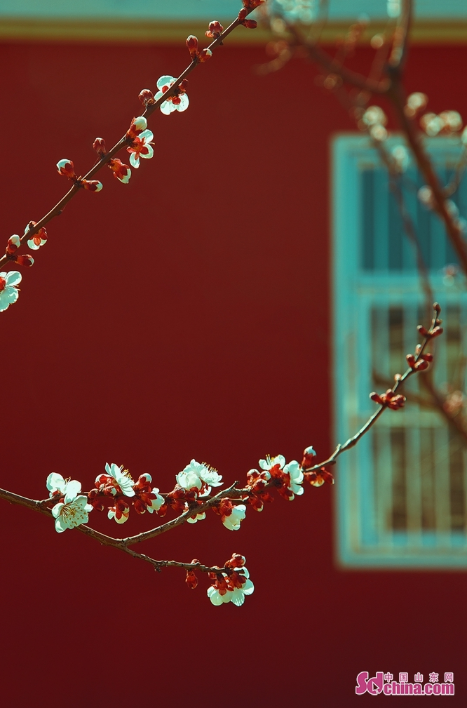 Photo taken on March 25, 2020 shows the plum blossoms in Dongying, East China's Shandong Province. (Photo by Ma Renliang/Sdchina.com)<br/>