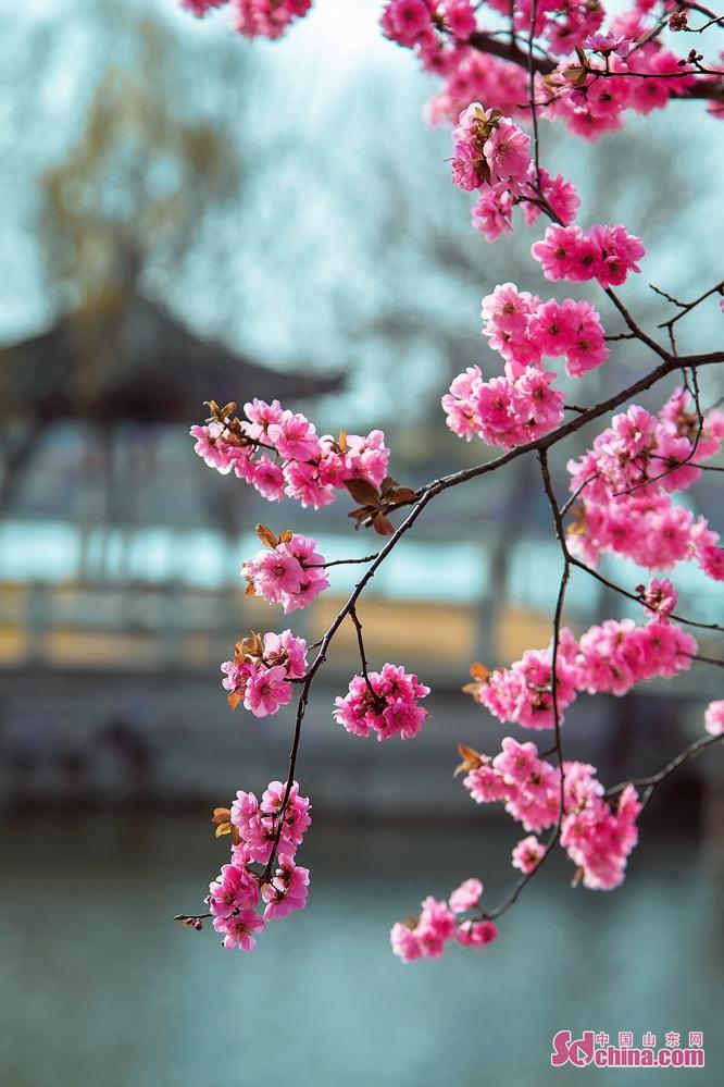 最近、気温が着実に上昇して、東営は花のシーズンに入り、道端の花が次々と咲いて美しい風景になっている。<br/>