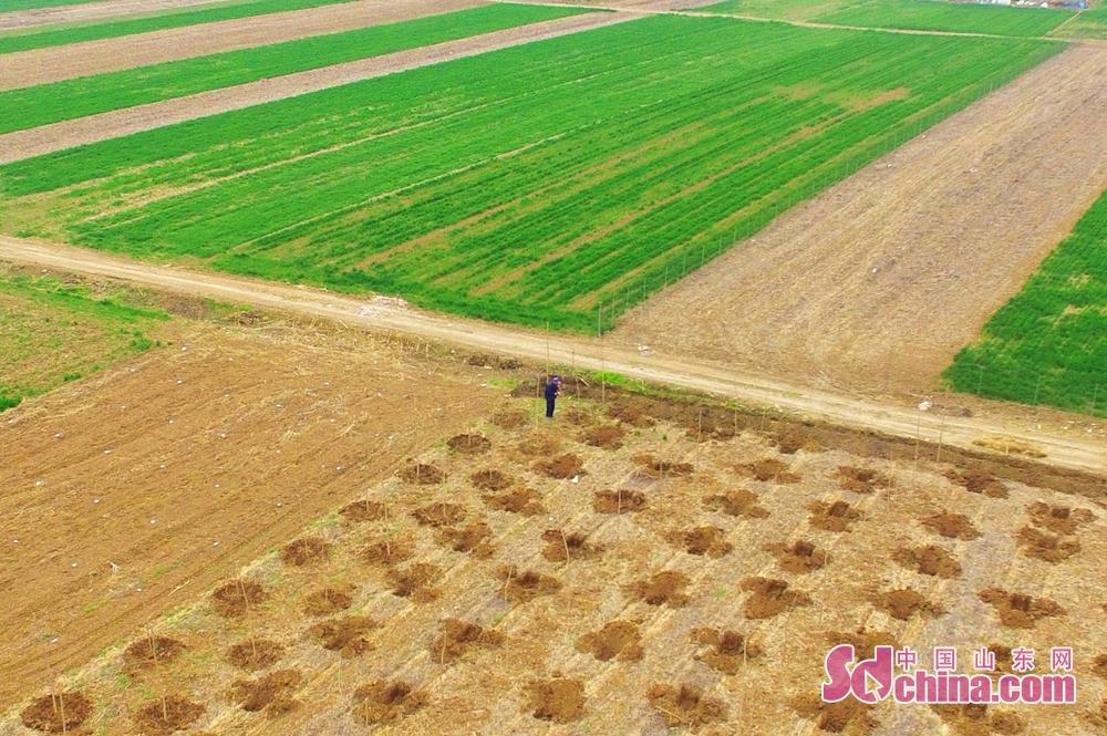 <br/>  3月26日,青岛市城阳区上马街道的农民在田间劳作。<br/>