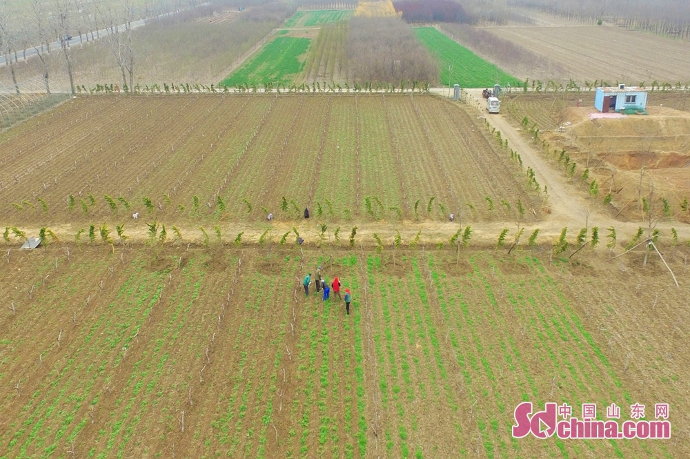<br/>  3月26日,青岛市城阳区上马街道的农民在田间间苗清理杂草。<br/>