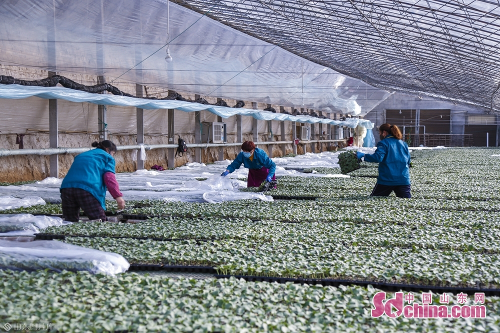 <br/>工作人员正在进行种苗,育苗。
