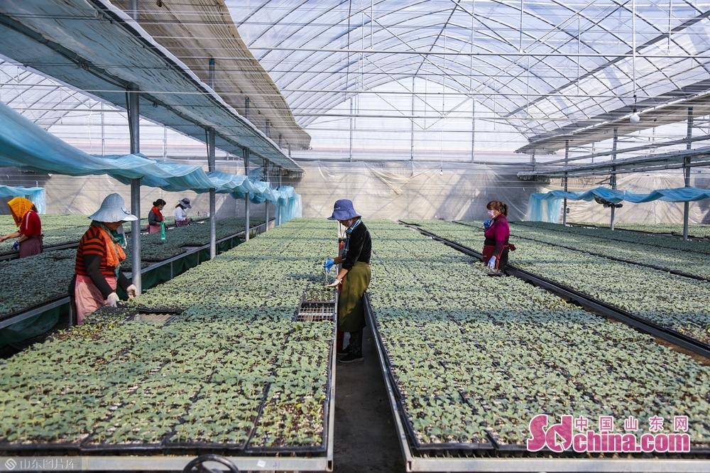 <br/>  这里是山东伟丽种苗有限公司的育苗大棚,正值惊蛰节气,各类蔬菜瓜果早春种苗生产定植如火如荼。