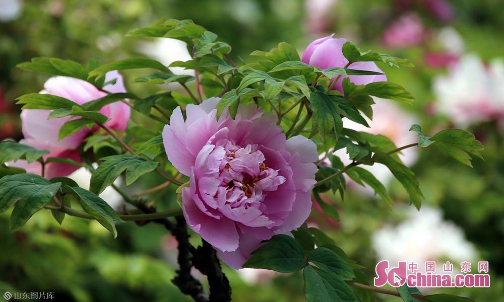 澹荡韶光三月中,牡丹偏自占春风。