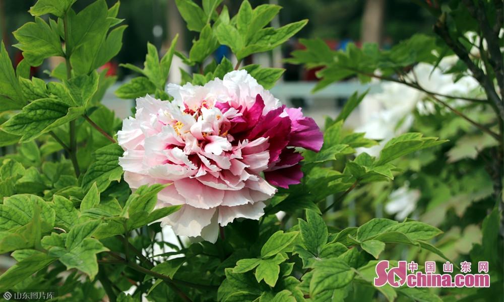 唯有牡丹真国色,花开时节动京城 。