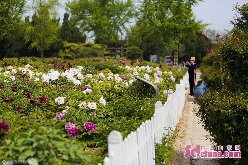 <br/>  春日暖阳中,万亩牡丹竞相开放,惹人怜爱。(摄影 毕冉)<br/>