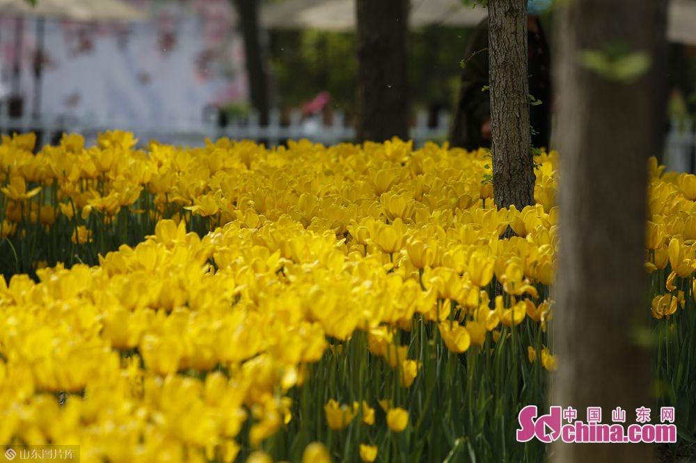 <br/>  除牡丹外,曹州牡丹园主观景道两旁的桃花、玉兰花、海棠花等花卉竞相吐蕊。(摄影 毕冉)<br/>