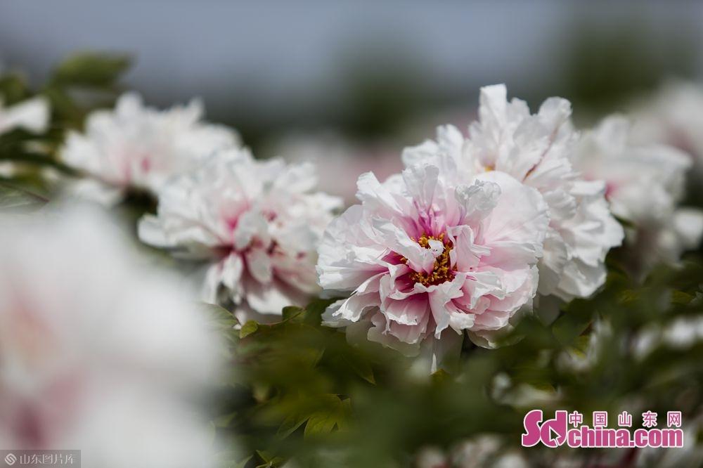 <br/>  &ldquo;曹州牡丹甲天下&rdquo;,古称曹州的菏泽,其牡丹栽培历史始于隋唐,盛于明清,至今已有1500多年的发展史。(摄影 毕冉)<br/>
