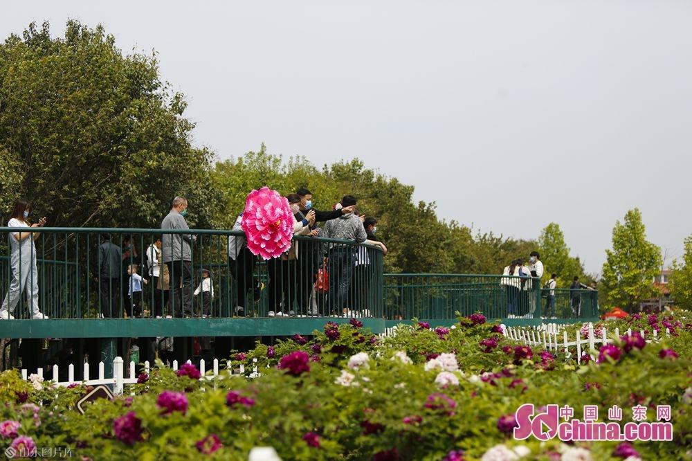<br/>  在曹州牡丹园可以尽览牡丹芳华。(摄影 毕冉)<br/>