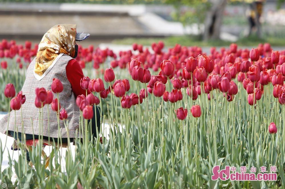 <br/>  园区内游客最易聚集地种植的13万株郁金香也绽开五颜六色的笑脸,形成一幅炫彩花王迎风招展的春日盛景。(摄影 毕冉)<br/>