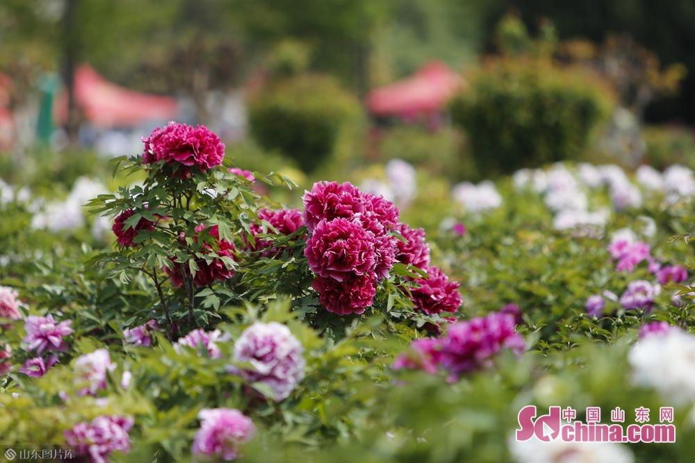<br/>  曹州牡丹园内一千亩娇艳的牡丹也随着和煦的春风慢慢苏醒。(摄影 毕冉)<br/>