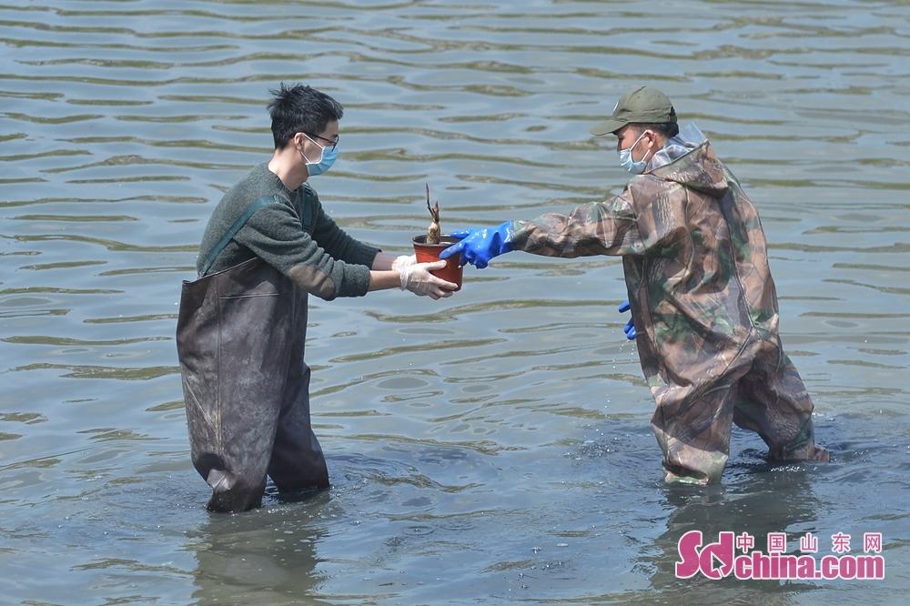 <br/>  4月17日,志愿者在山东省青岛市城阳区一条河流旁种植净水植物。<br/>
